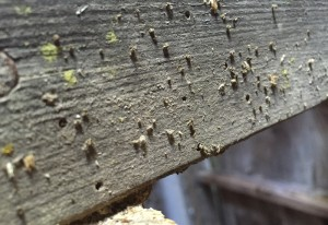 Mason Wasp Nests
