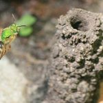 Metallic Green Sweat Bee and Nest