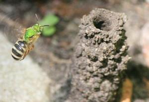 Metallic Green Sweat Bee and Nest