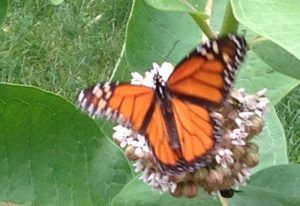 Monarch nectaring on Milkweed