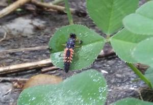 Multicolored Asian Lady Beetle Larvae