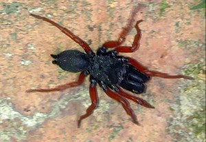 Red Legged Purseweb Spider