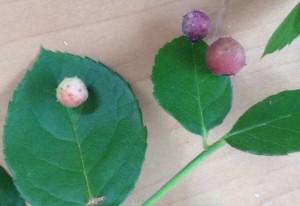 Spiny Rose Leaf Gall