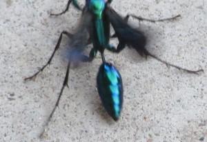 Steel Blue Cricket Hunter