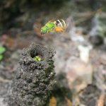 Metallic Green Sweat Bees and Nest