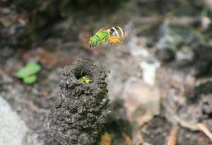 Metallic Green Sweat Bees and Nest