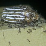 Ten Lined June Beetle devoured by Argentine Ants