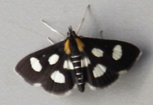 White Spotted Sable