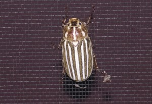 10 Lined June Beetle