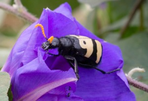 Blister Beetle: Mylabris oculata