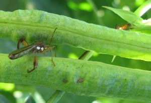 Broadheaded Bugs