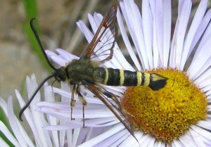 Clearwing Moth: Carmenta giliae