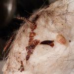 Carpet Beetle Debris
