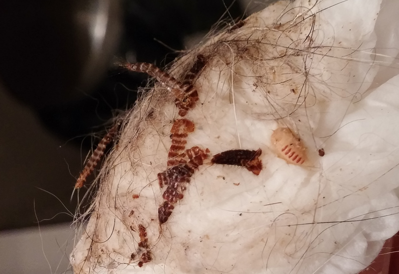 Carpet Beetle Larvae -...