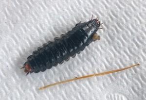 Caterpillar Hunter Carnage