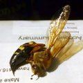 Cicada Killer Carnage