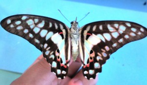 Common Jay ventral surface