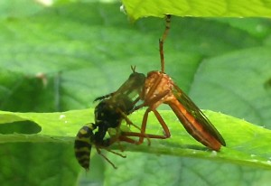 Hanging Thief eats Paper Wasp