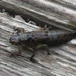 Dragonfly Naiad
