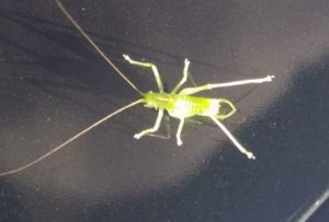 Immature Male Drumming Katydid