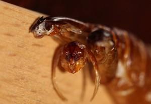 Possibly Wasp Exuvia