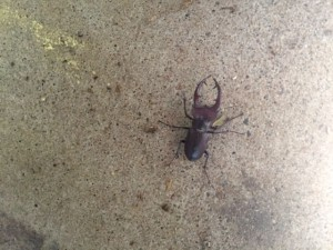 Giant Stag Beetle