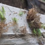 Grass Carrying Wasp Nest
