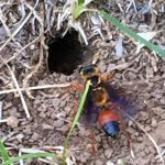Great Golden Digger Wasp makes nest
