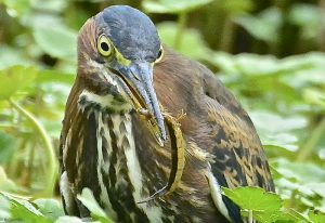 Green Heron Eats Water Tiger