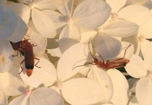 Hogweed Bonking Beetles