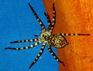 Huntsman Spider: Eusparassus walckenaeri