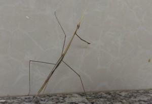 India Grass Mantis