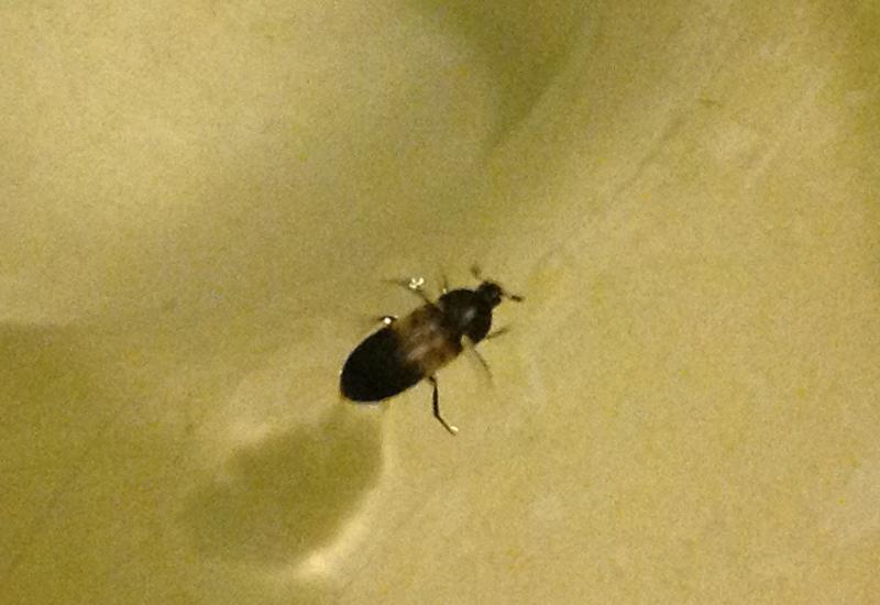 Pantry Beetles Grain Weevils Spider Beetles Meal Worms
