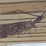 Male Dobsonfly