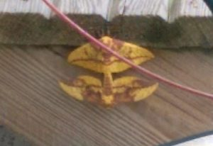 Mating Imperial Moths