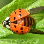 What Parasitized the Multicolored Asian Lady Beetle???