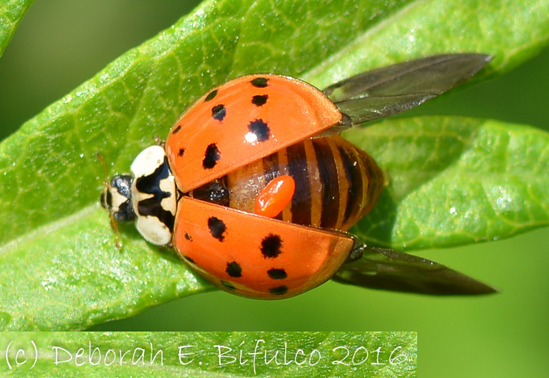 Multi Colored Asian Lady Beetles 18