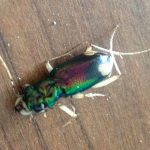 Pan American Big Headed Tiger Beetle Carnage