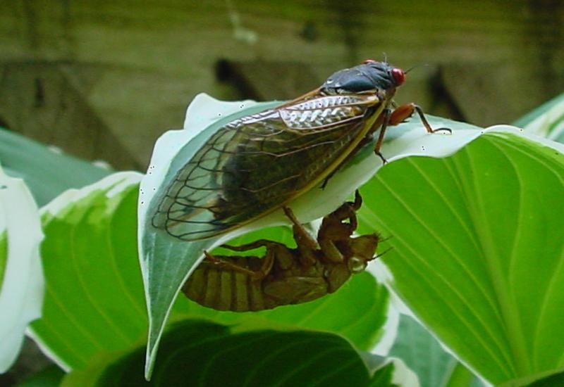 cicada - photo #29