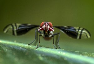 Possibly Picture Winged Fly