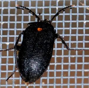 Polyphore Fungus Beetle:  Penthe obliquata