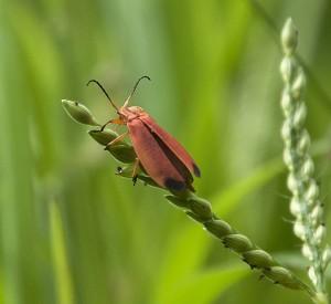 Beetle: Superfamily Elateroidea