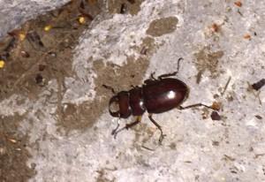 Male Reddish Brown Stag Beetle