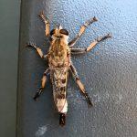 Robber Fly:  Efferia albibarbis
