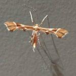 Rose Plume Moth