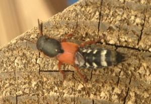Rove Beetle:  Staphylinus caesareus