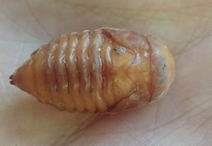 Scarab Beetle Pupa