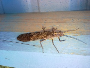 Salmonfly