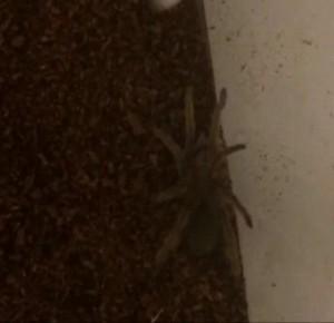 Tarantula, we presume