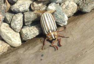 Ten Lined June Beetle from Glendale